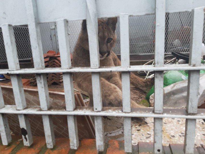 Photo of Rescataron a un puma que era tenido como mascota en una casa de Mataderos